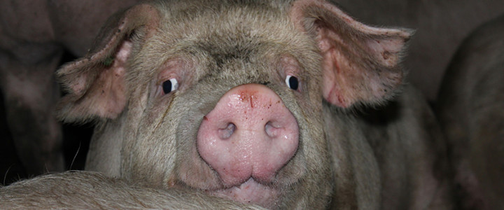 Der Weg allen Fleisches: vom Tier zur Ware